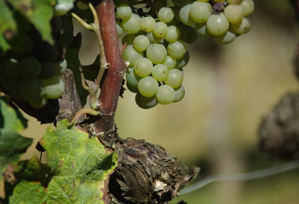 Vineyard audit and evaluation